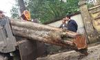 Giải mã 'bí mật' tại sao cây gỗ sưa 'đắt hơn vàng'