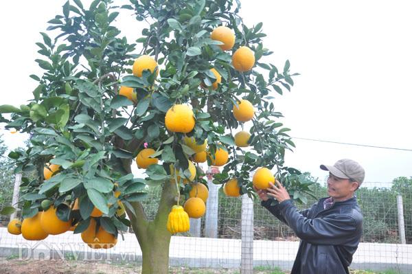 cam Canh, bưởi cảnh, trồng cam, vườn bưởi, cây cảnh, nông dân, tiền tỷ