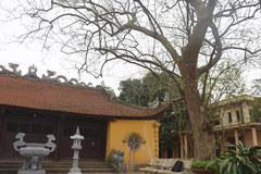 Cây sưa 400 tuổi được đại gia gỗ săn đón ở Bắc Ninh