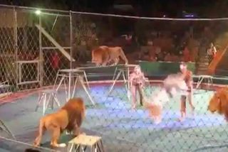 Sư tử nổi giận, hung hăng vồ người huấn luyện