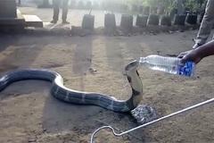Liều lĩnh cầm chai nước cho hổ mang chúa 'khổng lồ' uống