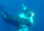 Cá voi sát thủ xé xác cá mập búa trong chớp mắt