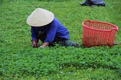 Cả xã trồng rau má, thu hàng chục tỷ đồng