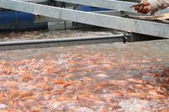 Nuôi cá cạnh ống xả thải để cán bộ ăn thẩm định