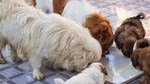 Có một thời muốn cưỡi 'giấc mơ' Dream thì nuôi chó Nhật