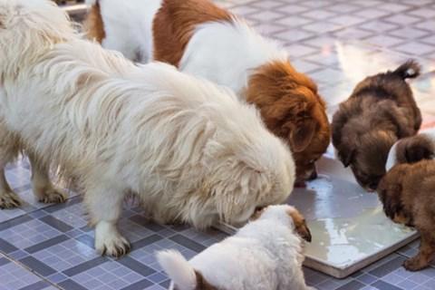 chó Nhật, chó cảnh, nuôi chó, chó mèo,