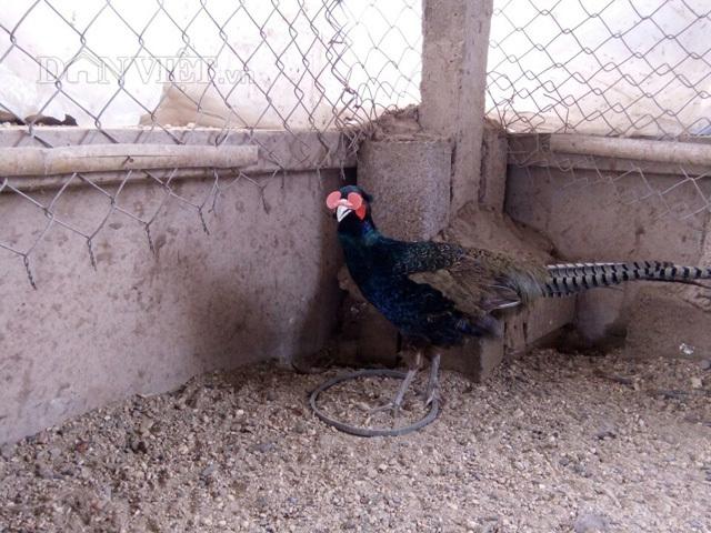Đeo kính cho loài chim 'đẻ' lãi như 'máy in tiền'