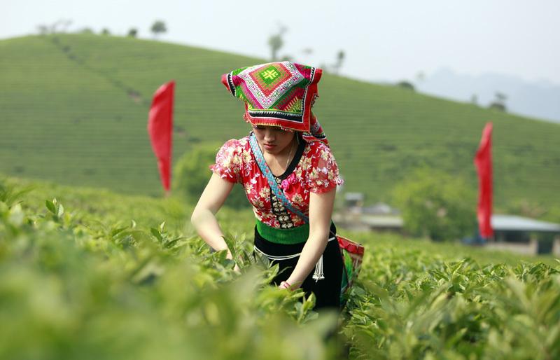 Sơn nữ hái chè trên thảo nguyên xanh