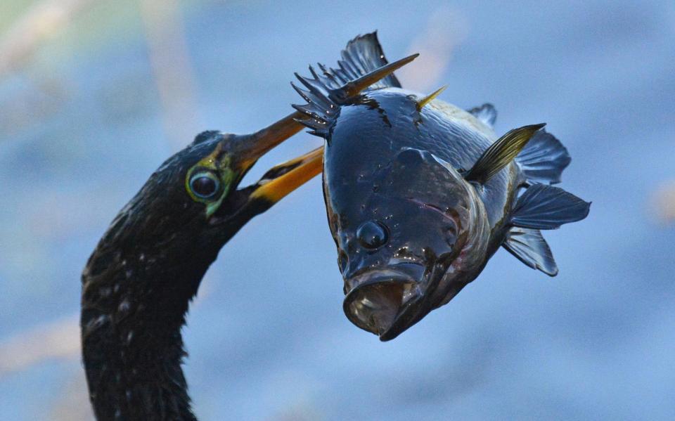 Chim cổ rắn nuốt chửng cá rô