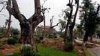 Thái Bình đột ngột di dời loạt cây cổ thụ trăm tuổi