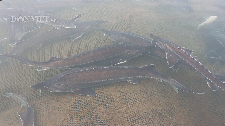 nuôi cá tầm, trứng cá tầm, trứng cá tầm trắng, cá tầm Trung Quốc, cá tầm Việt Nam,