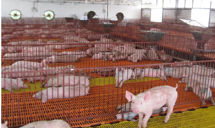 thịt lợn giảm giá, nông sản ế ẩm, Trung Quốc ngừng mua, chăn nuôi lợn, ngành chăn nuôi, giá thịt lợn, thương lái ép giá thịt lợn