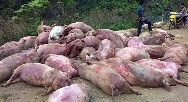 Thịt lợn chết thành đặc sản: Bộ NN-PTNT cảnh báo địa phương