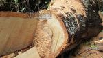 Nghệ An xử vụ phá rừng pơ mu trong khu bảo tồn thiên nhiên
