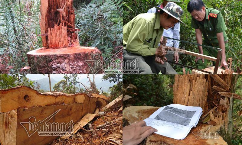phá rừng, pơ mu, lâm tặc, gỗ pơ mu, Pù Hoạt, khu bảo tồn, 90 ngày tù