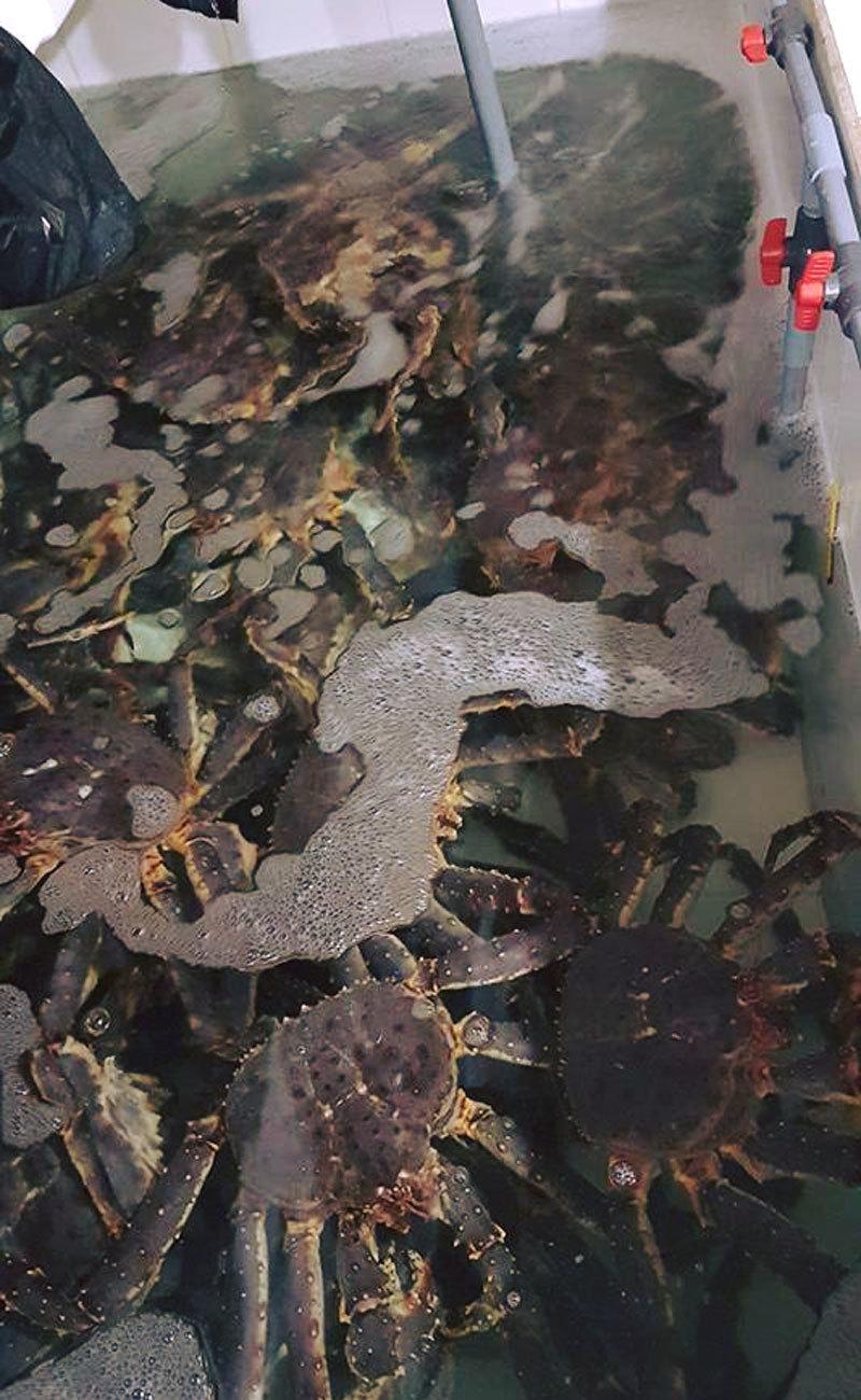 Đại gia Hà thành săn loài cua dài 1 mét giá 10 triệu mở tiệc