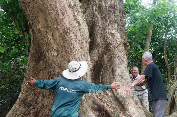 Cây sưa 300 tuổi ở Quảng Nam: Báu vật truyền đời quyết không bán