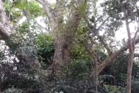 Ngỡ ngàng cây sưa 300 tuổi hàng chục người ôm không xuể