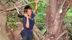 Kỳ lạ loài cây chảy ra rượu ở miền núi Quảng Bình