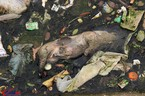 Khốn khổ vì xác lợn ngập tràn ngõ xóm
