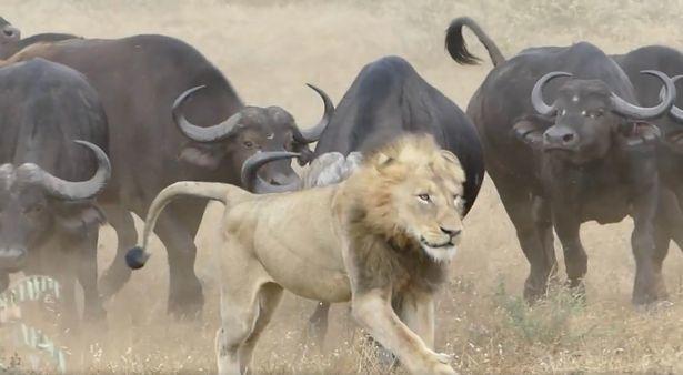 Sư tử suýt chết vì dám tấn công đàn trâu