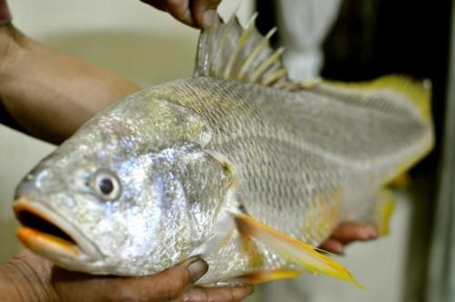 cá sủ vàng, cần thủ, Sài Gòn, ngư dân