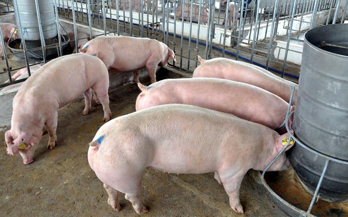 chăn nuôi lợn, giá thịt lợn giảm mạnh, thương lái ép gái thịt lợn, trung quốc ngừng mua thịt lợn