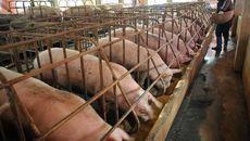 22 ngàn/kg thịt lợn: Giá sẽ còn giảm nữa