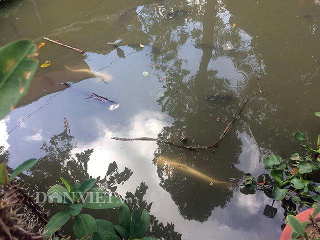 Huyền bí cặp cá tra bạch tạng 13 năm tuổi