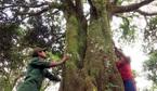 Kho báu vật 'cây nhà trời' trăm tuổi trên núi Ngọc Linh