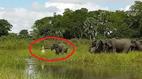 Bị cá sấu bất ngờ tấn công, đàn voi khiếp sợ kêu vang rừng