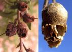 Kỳ lạ loài hoa biến hình thành 'đầu lâu' khi héo tàn