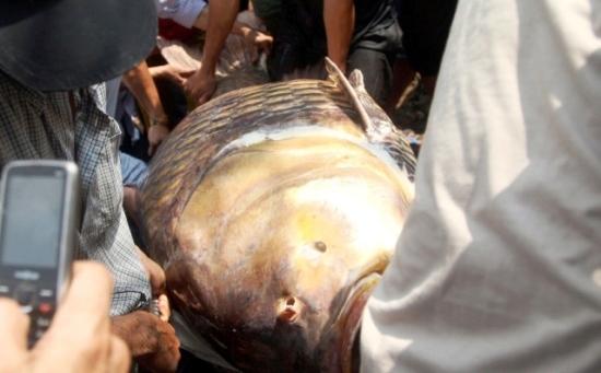 Ngư dân Sài Gòn bắt được cá quý hiếm trên sông Đồng Nai