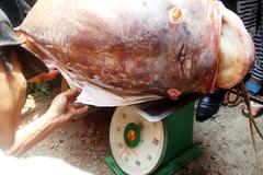 """Bắt được """"quái ngư"""" trên sông Đồng Nai, bán gần trăm triệu"""