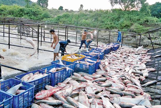 Săn 'cá ma' huyền bí vùng hồ Ayun Hạ