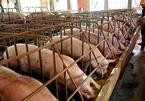 Họp họ, gặp mặt đồng hương giải cứu thịt lợn ở quê