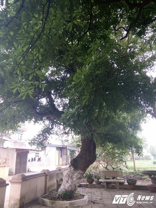 Đồng Tâm, cây cổ thụ