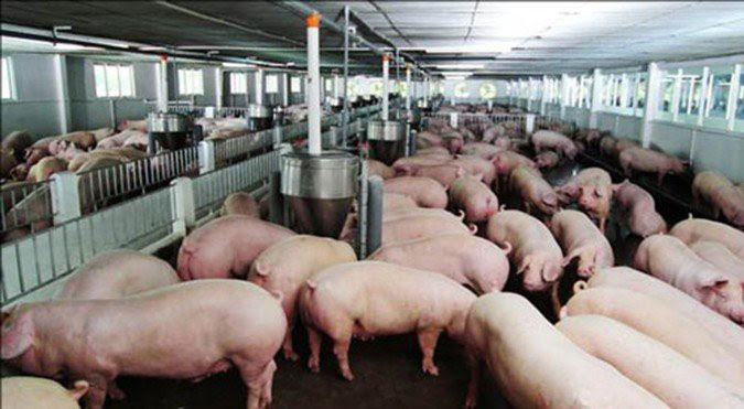 Formosa, thịt lợn rớt giá