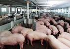 Hà Tĩnh đề nghị Formosa thu mua lợn giúp nông dân