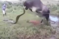 Bò mẹ trả đũa trăn khổng lồ