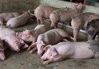 Sau giảm giá kỷ lục, thịt lợn tăng 5.000 - 7.000 đồng/kg