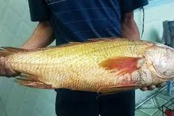 Câu được cá nghi sủ vàng nặng hơn 7 kg trên biển Vũng Tàu