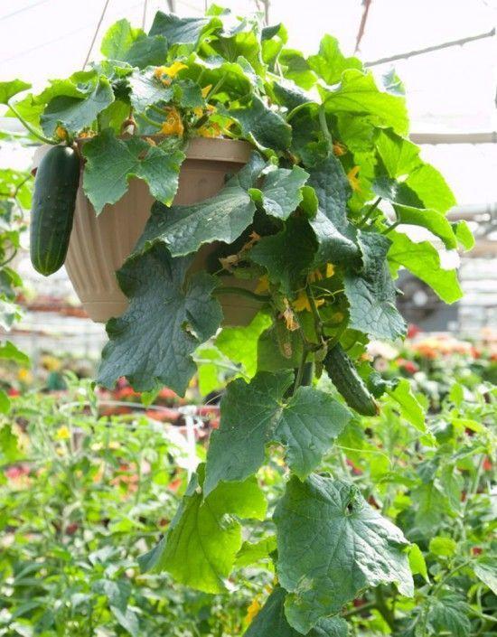 Nhà chật đến đâu cũng trồng được những loại rau quả 'dễ tính' này