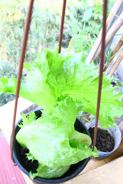 trồng rau sạch, trồng cây gia vị, rau xanh