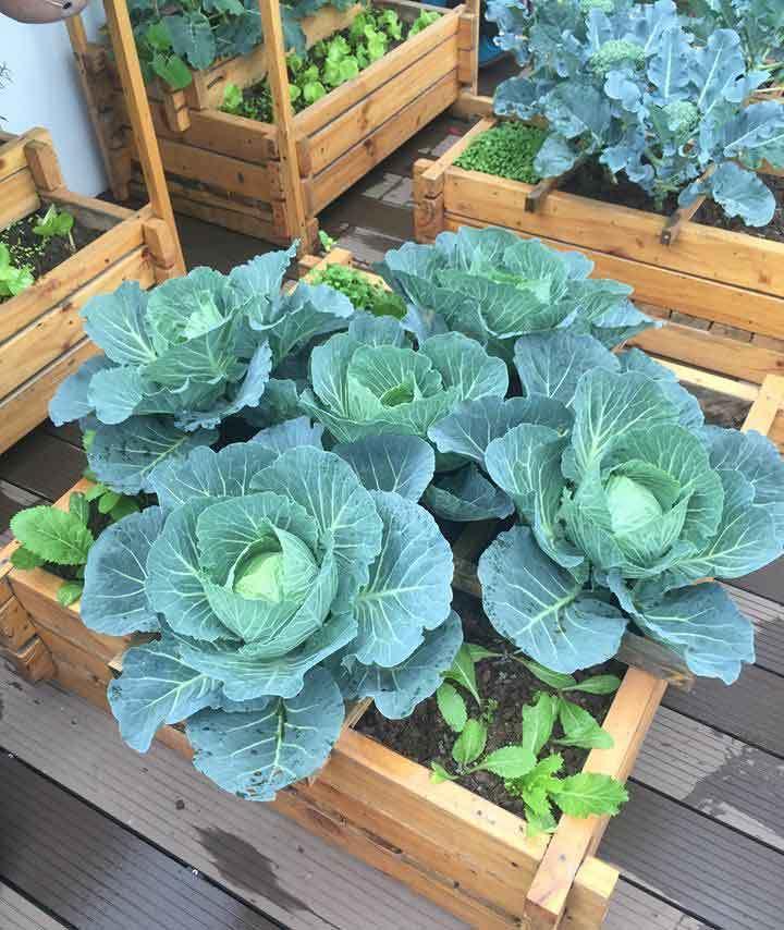 vườn rau sạch, trồng rau sạch, trồng rau trên sân thượng