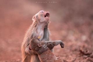 Bí mật tấm ảnh bi thảm khỉ mẹ la hét