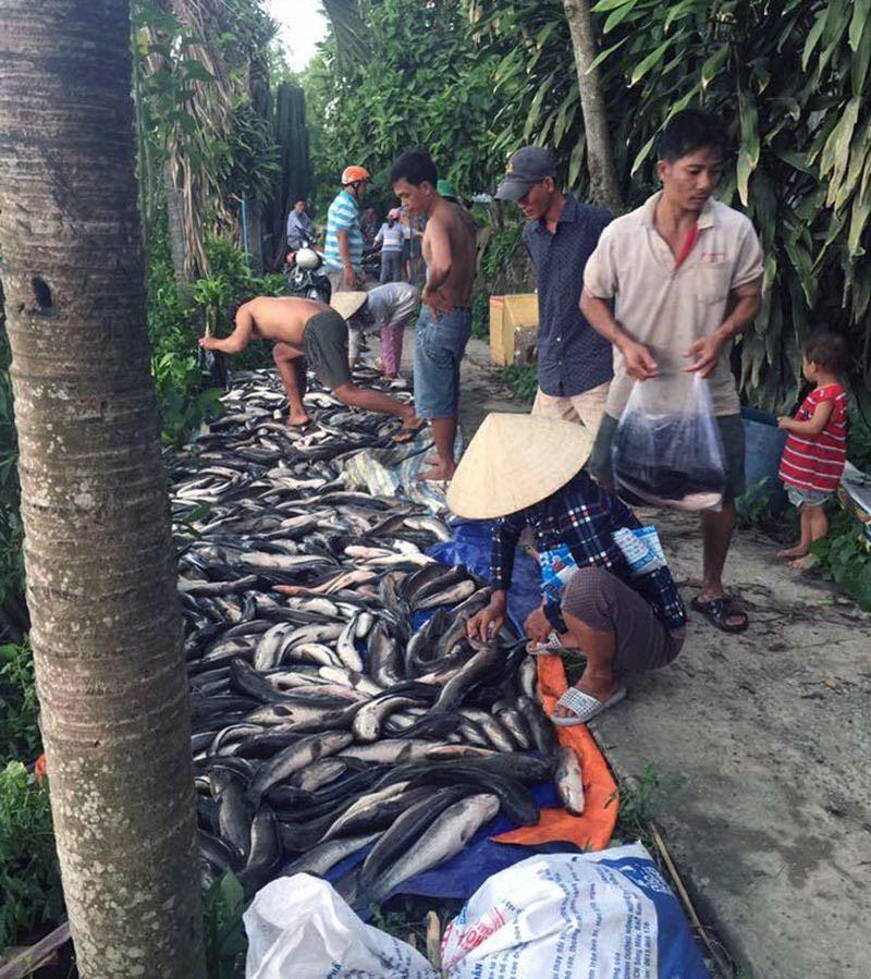 Cá lóc của người dân chết hàng loạt nghi do bị đầu độc