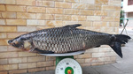 Câu được cá trắm đen nặng 41 kg, bán với giá 45 triệu đồng