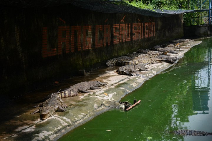 cá sấu, thương lái, nông dân