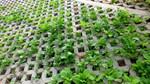Ngắm vườn rau xanh mướt của dân Hà Nội trên taluy đường nghìn tỷ